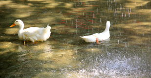 Canards sous la pluie Photo stock