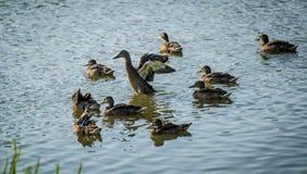 Canards sur l'étang Photographie stock libre de droits