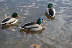 Canards sur l'étang Images libres de droits