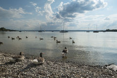 Canards sur l'Ammersee Image stock