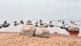 Canards sur l'eau Images stock