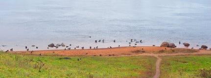 Canards sur l'eau Image libre de droits