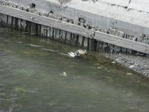 Canards sur l'eau Images libres de droits