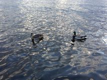 Canards sur l'eau Photo libre de droits