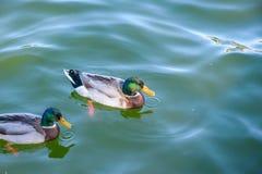 Canards sur l'eau Photos libres de droits