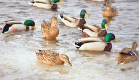 Canards sur l'eau Photo stock