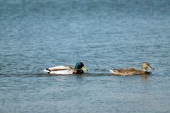2 canards sur l'eau Photo stock