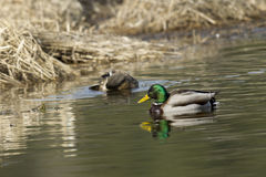 Canards sur l'eau calme Image libre de droits