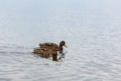 Canards sur l'eau dans l'étang de parc de ville Image libre de droits