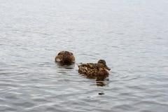 Canards sur l'eau dans l'étang de parc de ville Photos stock