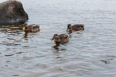 Canards sur l'eau dans l'étang de parc de ville Photographie stock
