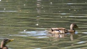 Canards sur l'eau dans l'étang de parc de ville Les canards nagent dans un étang en parc de ville bain de canards en parc de vill Photos stock
