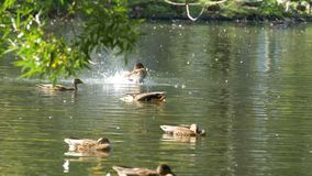 Canards sur l'eau dans l'étang de parc de ville Les canards nagent dans un étang en parc de ville bain de canards en parc de vill Image libre de droits