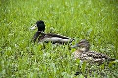 Canards sur l'herbe verte image stock