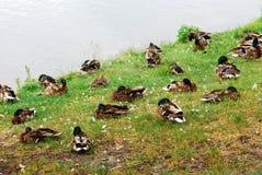 Canards sur l'herbe verte de conseil d'étang Photos stock