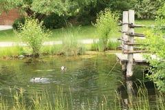 Canards sur l'étang Photo libre de droits