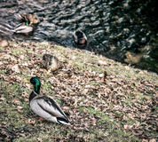 Canards sur la berge Photo stock