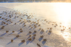 Canards sur la glace gelant le matin froid Photographie stock libre de droits