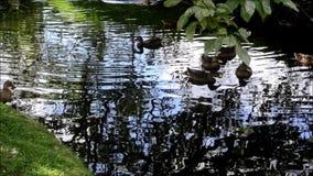 Canards sur la rivière banque de vidéos