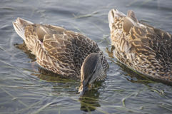Canards sur la rivière Niagara Photos libres de droits