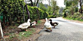 Canards sur la route Photo libre de droits