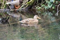 Canards sur le canal Image stock