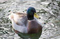 Canards sur le canal Image libre de droits