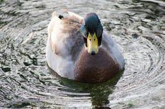 Canards sur le canal Photos libres de droits