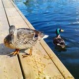 Canards sur le dock en bois Images stock