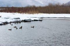 Canards sur le fleuve Image libre de droits