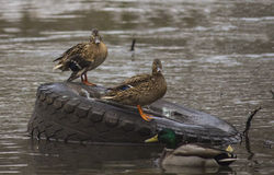 Canards sur le fleuve Photographie stock