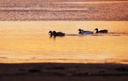 Canards sur le fleuve au coucher du soleil Images libres de droits