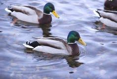 Canards sur le fleuve images stock