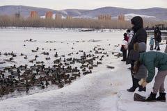 Canards sur le fleuve photos libres de droits