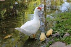 Canards sur le lac Photos libres de droits