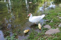 Canards sur le lac Image libre de droits