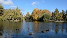 Canards sur le lac banque de vidéos