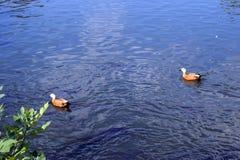 Canards sur le lac Baïkal image libre de droits
