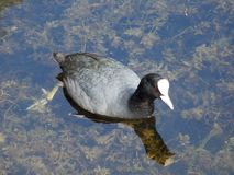 Canards sur le lac Bodensee dans Kreuzlingen photos stock