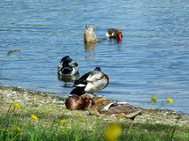 Canards sur le lac Bodensee dans Kreuzlingen photo libre de droits