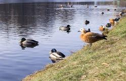 Canards sur le lac de parc à l'automne en retard fond, animaux photos stock