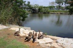 Canards sur le rivage du lac Image libre de droits
