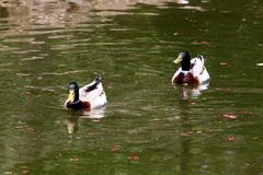 Canards sur le rivage du lac Images stock