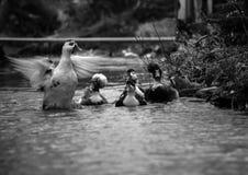 Canards sur le riwer en soleil froid d'hiver photo stock