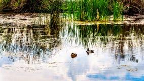 Canards sur Peter Hope Lake dans les montagnes de Shuswap en Colombie-Britannique, Canada Photographie stock libre de droits