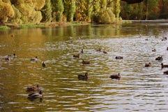 Canards sur un étang Images libres de droits