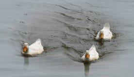 Canards sur un étang Image libre de droits