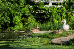 Canards sur un barrage photos stock