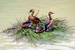 Canards sur un bateau tubulaire Photos libres de droits