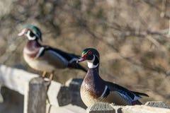 2 canards sur une barrière Image libre de droits